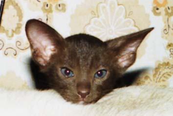 ...кошка шоколадного (гавана) окраса.