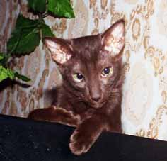 ориентальная кошка шоколадного окраса - Глория, первая кошка нашего питомника