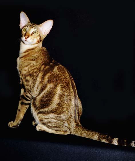 JUNGLE питомник: ориентальные и сиамские кошки.  О породе: окрасы.